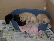 gorgeous chunky well bred labrador pups forsale affortable price