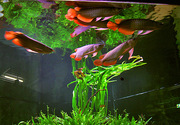 Tropical arowana fishes at affordable prices.