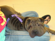 Chinese Sharpei puppies from champion bloodlines