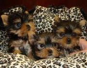 Yorkie puppies nice baby face