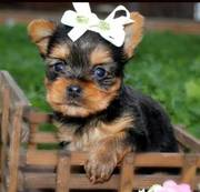 Get a Yorkie puppy now !!