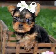 Get a Yorkie puppy now !!