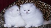 white persian kittens home raised for re homing