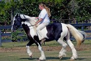 Home raised gypsy vanner horse for a new home