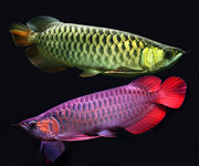 Top Quality Super Red Arowana fish and others for sale