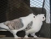 German Owl Pigeons , King Pigeons For sale