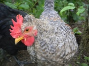 Rooster chicks, Cream Legbar Rooster Chicks for sale