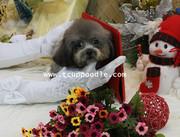 Pocket -Super Tiny Teacup Poodle #101 for sale