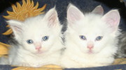 Male and Female Maine Coon Kittens for adoption. (White)