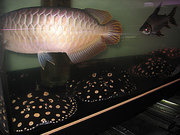 HEALTHY AROWANA AND FRESHWATER STINGRAY FOR SALE