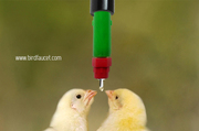 Right choice for watering to your birds - Birdfaucet