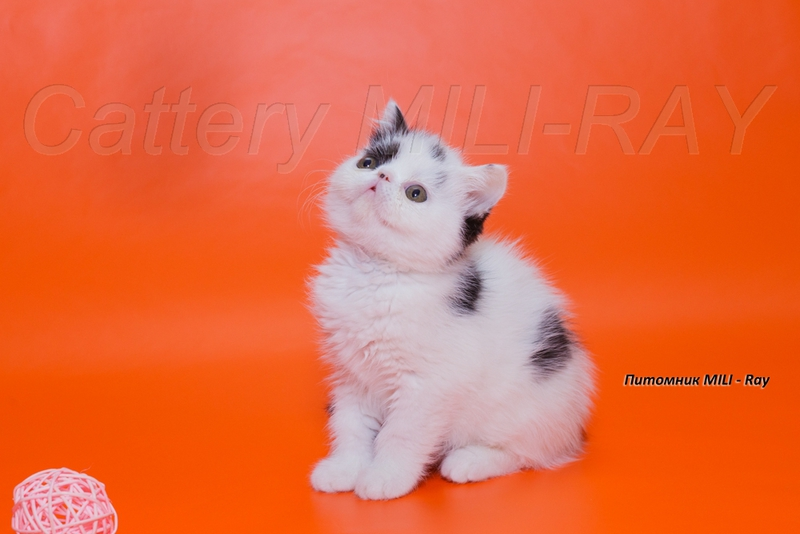 Exotic kittens from world champion - New York City - Cats for sale