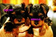 Attractive yorkie puppies to loving homes
