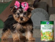 Baby Face Teacup Yorkies For New Home