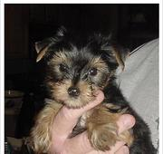 Tiny Tea Cup Yorkie Puppy For Re-Homing