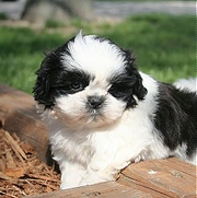 shih tzu puppy for free adoption