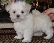 Bella is a beautiful Maltese puppy